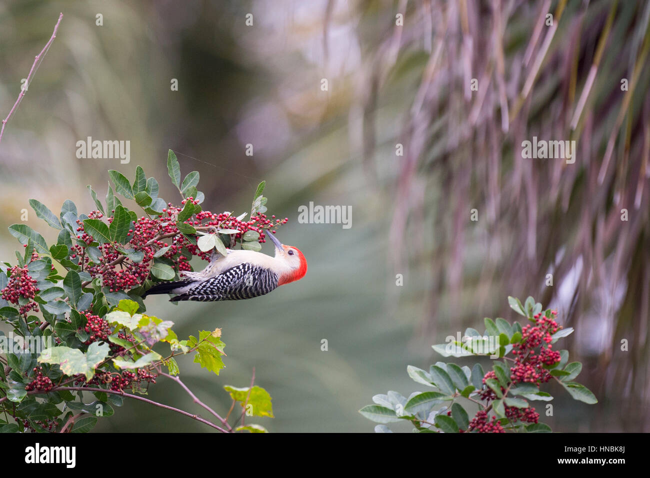 A Red-bellied Woodpecker hangs from a branch covered in red berries in soft overcast light. - Stock Image