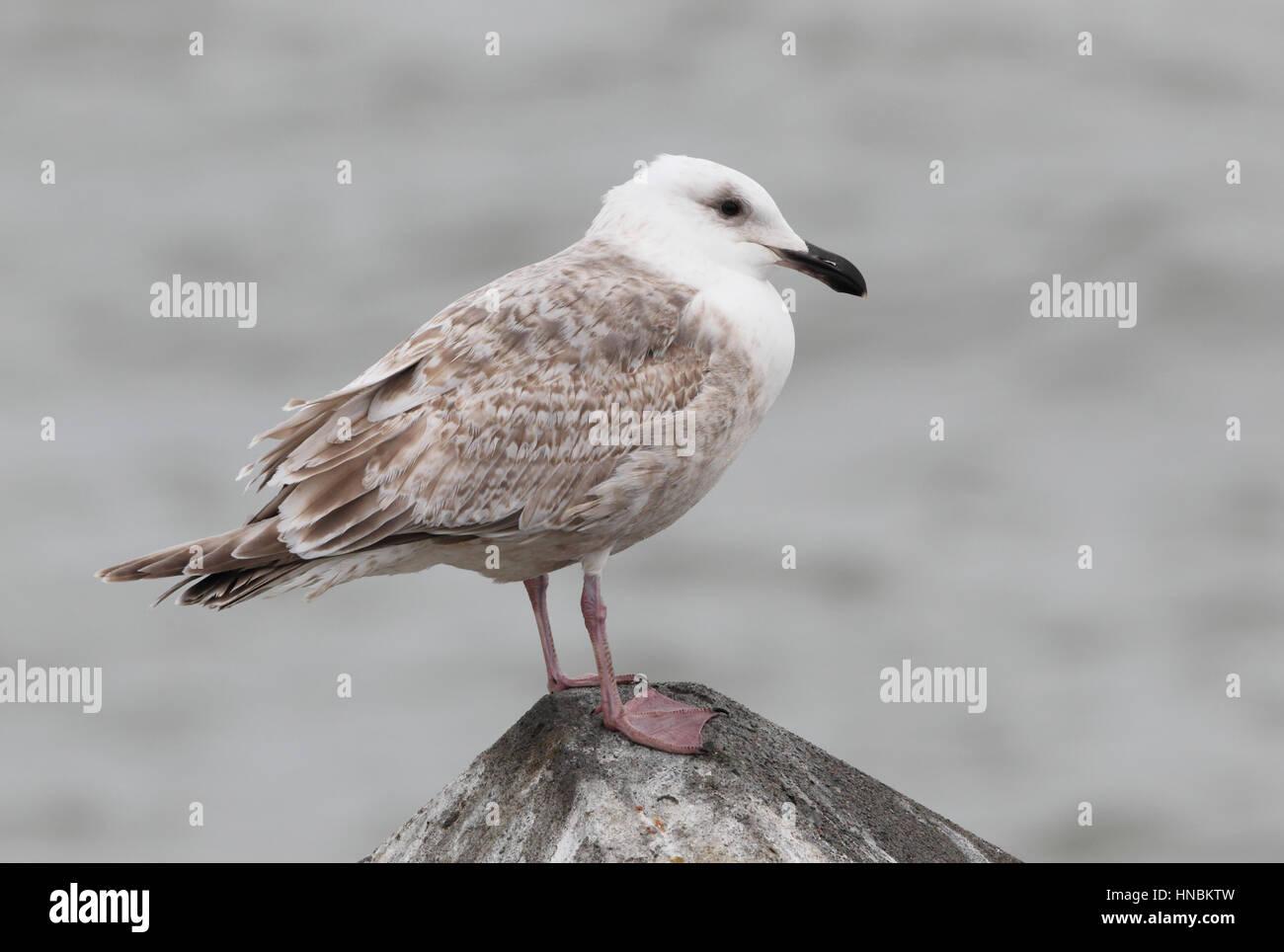Immature Glaucous-winged Gull (Larus glaucescens) perched on rock on the Hokkaido coast, Japan - Stock Image