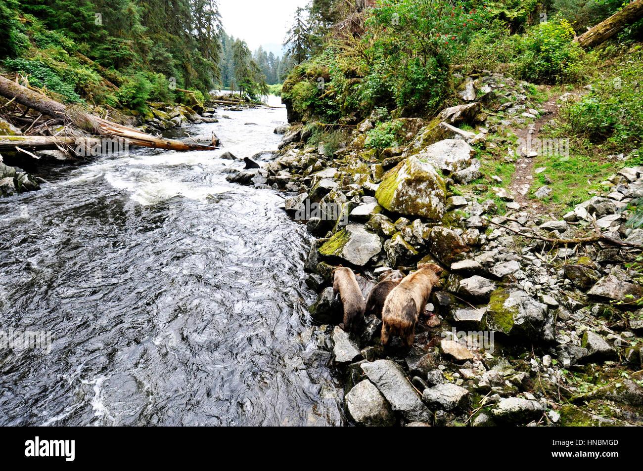 Tongass National Forest, Anan Creek wildlife observatory, Alaska, USA - Stock Image