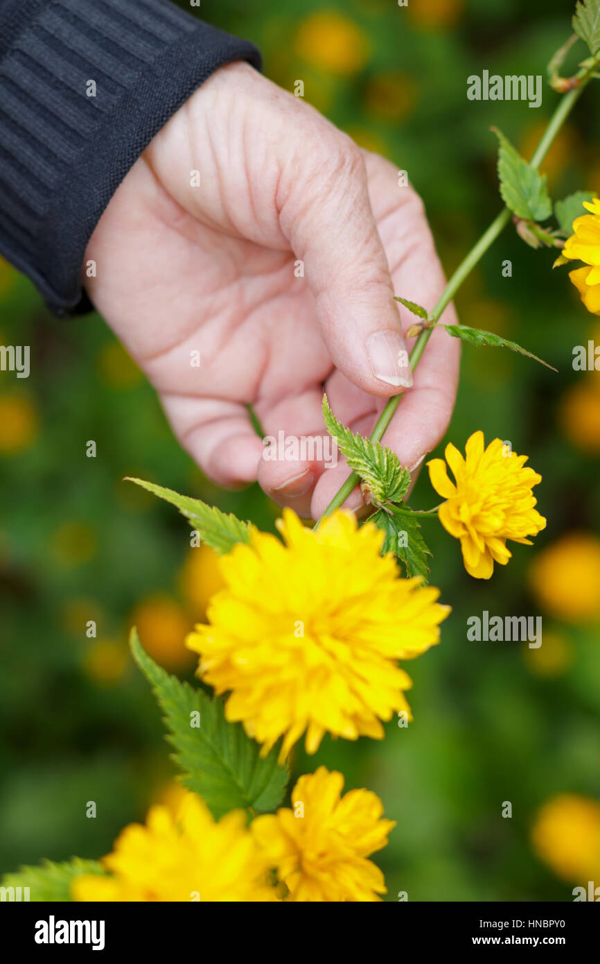 Elderly hand holding a flower in her hands - Stock Image