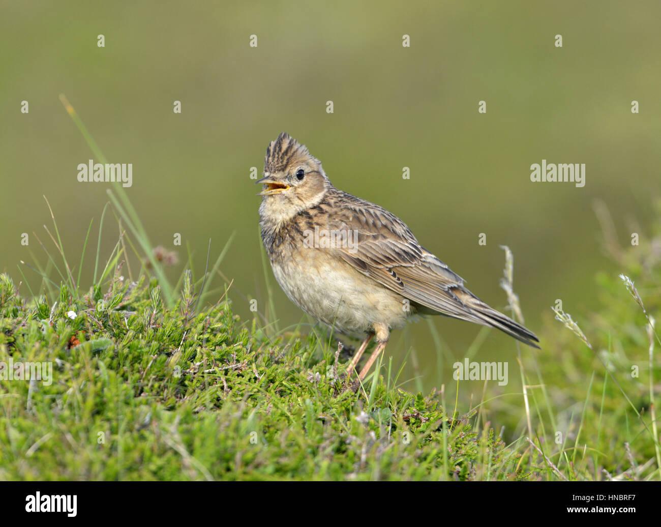 Skylark - Alauda arvensis - Stock Image