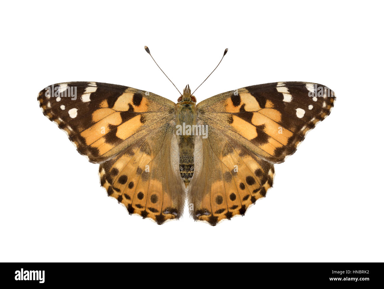 Painted Lady - Vanessa cardui - Stock Image