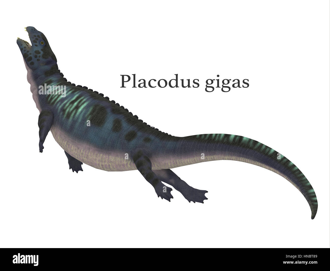 Placodus was a marine reptile that swam in the shallow seas of the Triassic Period in Europe and China. - Stock Image