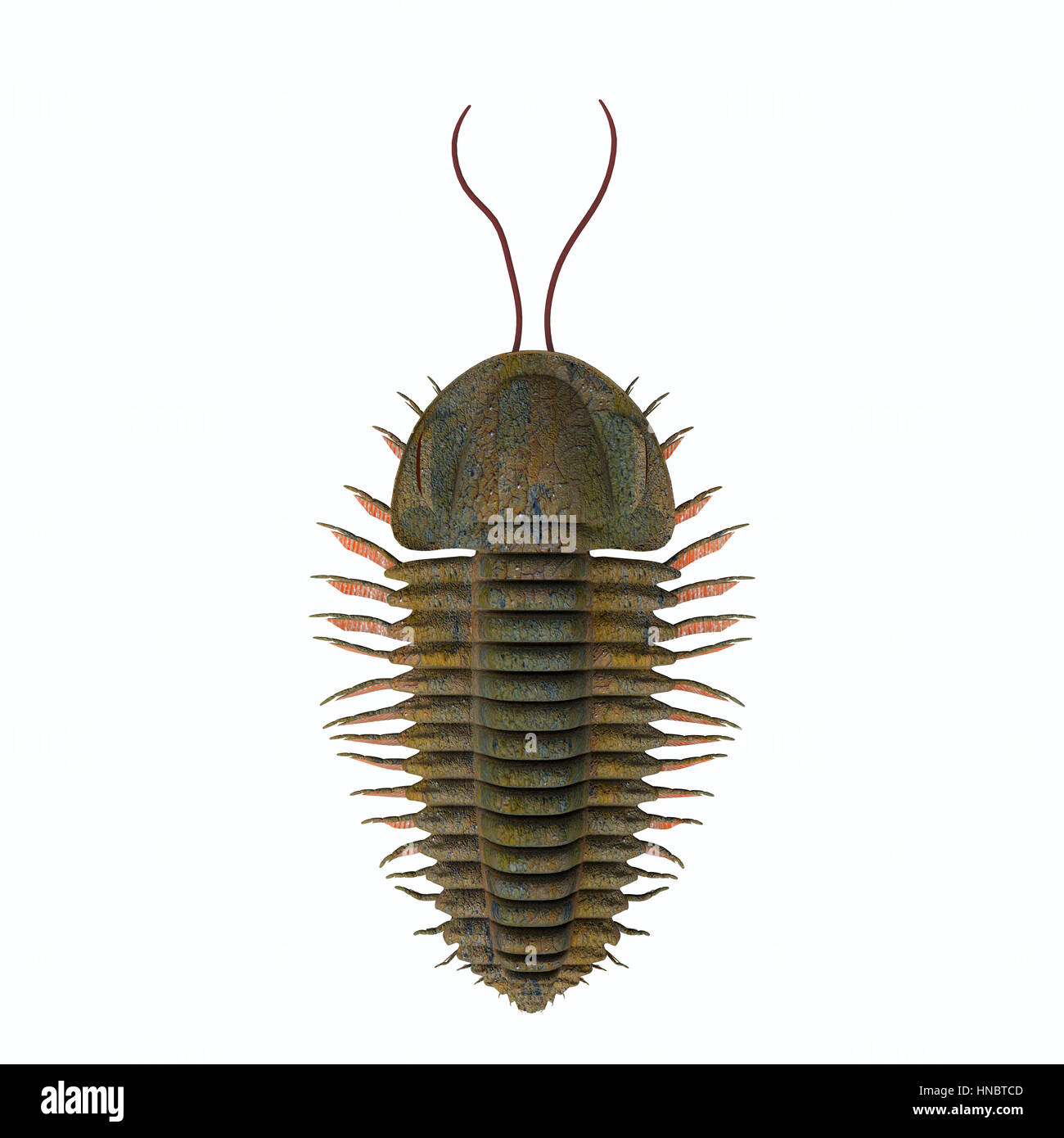 Trilobite triarthrus is a Burgess shale animal that lived in the Cambrian seas of Canada, North America, China and - Stock Image