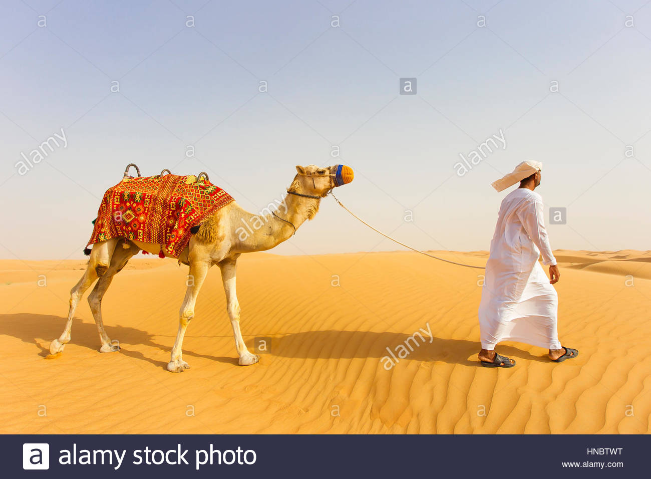A man walking a camel at the Dubai Desert Conservation Reserve. - Stock Image