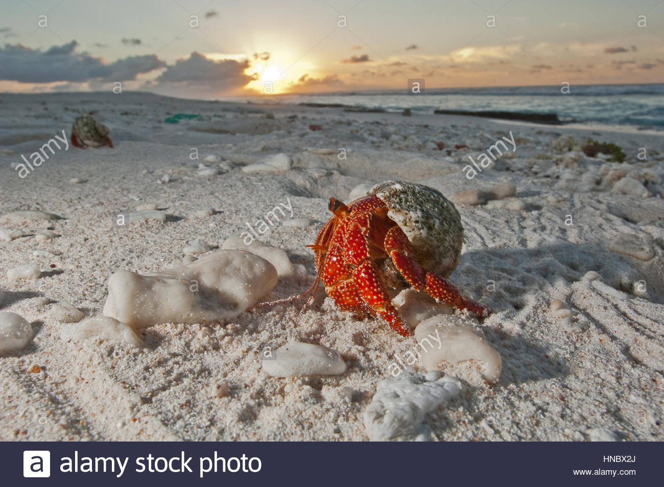 A hermit crab crawls on a sandy beach on the deserted Starbuck Island in the Southern Line Islands. - Stock Image