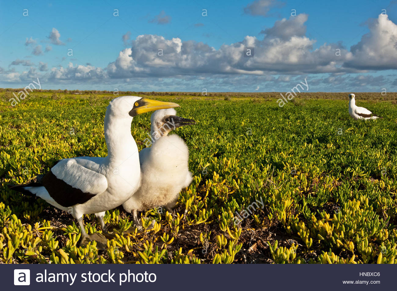 A masked boobie adult and chick on Malden Island in the Southern Line Islands. - Stock Image
