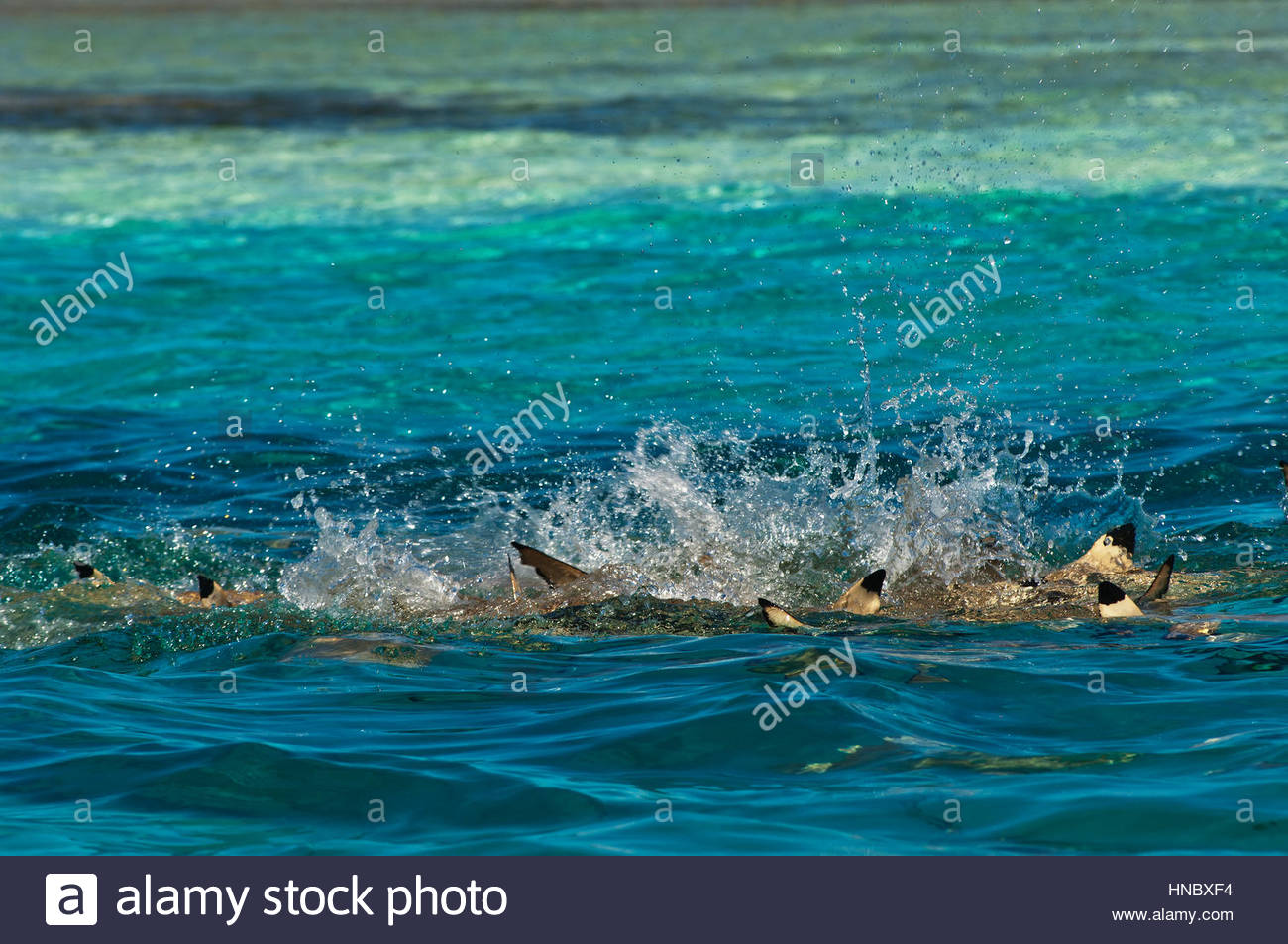 Blacktip reef sharks search for food in shallow lagoon waters off Millennium Atoll. - Stock Image
