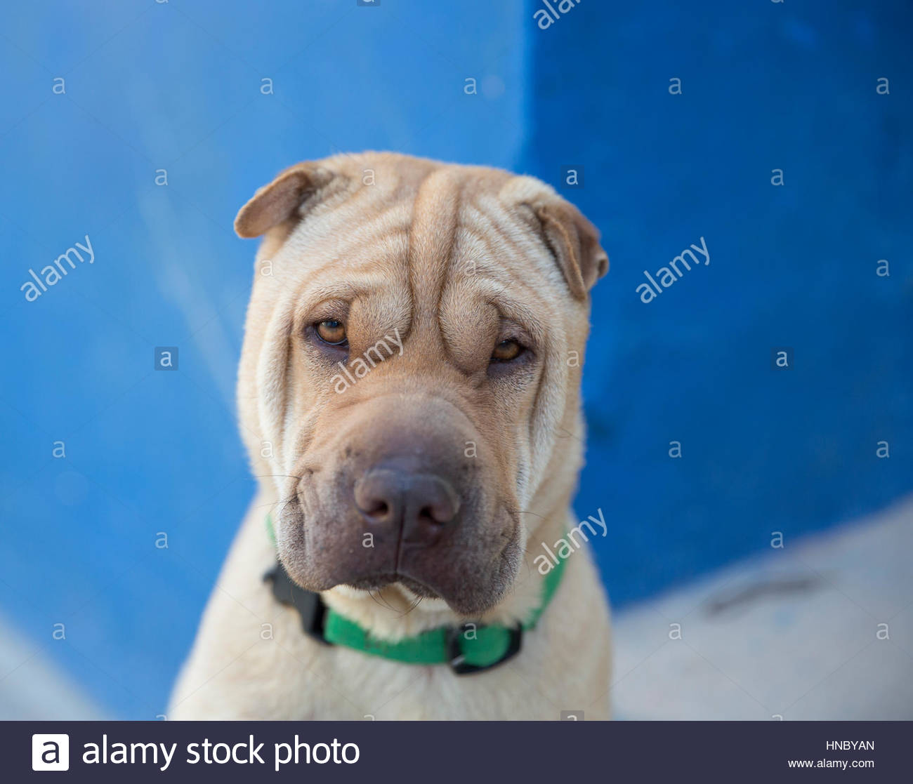 A Shar Pei dog in Trinidad, Cuba. - Stock Image