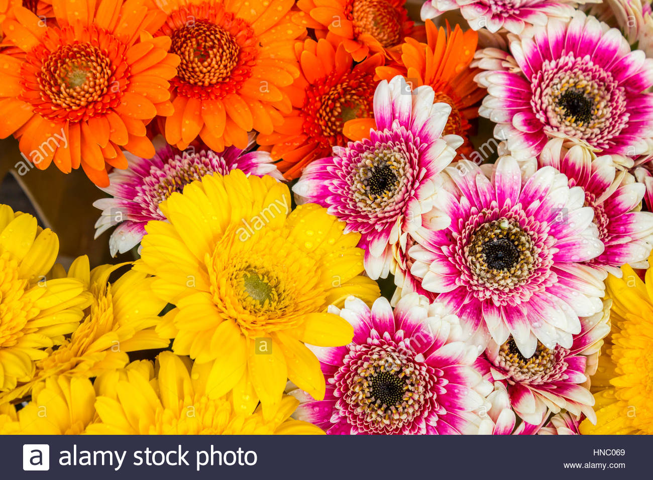 Close up of gerbera daisy flowers stock photo 133643953 alamy close up of gerbera daisy flowers izmirmasajfo
