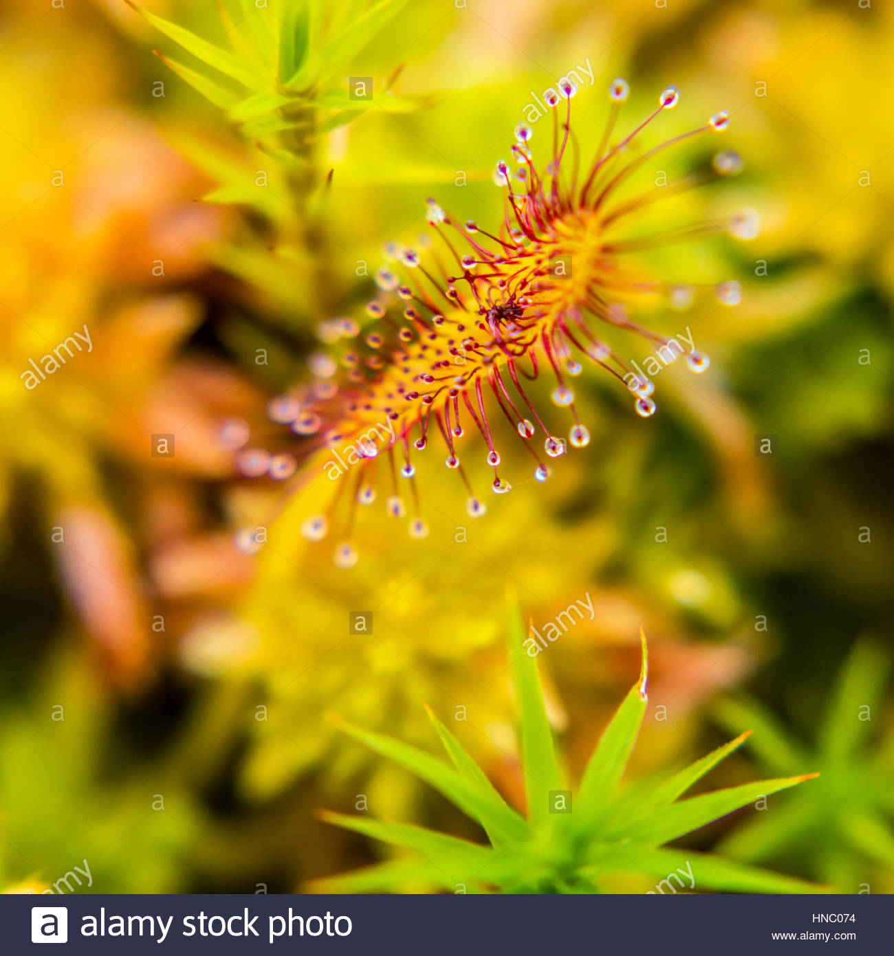 The leaf of a sticky sundew plant, Drosera capensis, at Glasgow Botanical Garden. - Stock Image