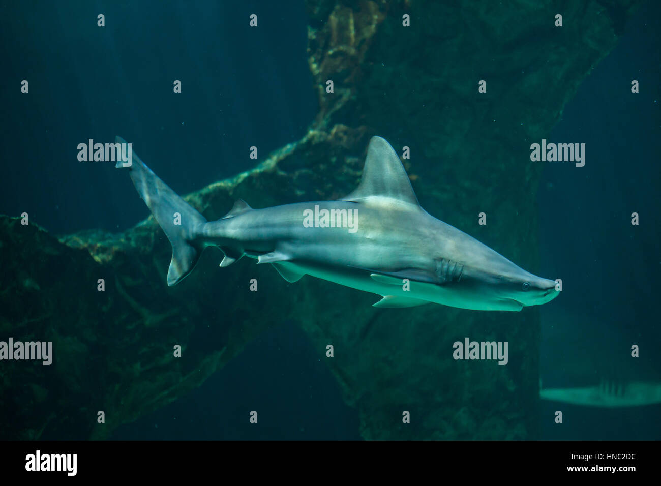 Sandbar shark (Carcharhinus plumbeus). Stock Photo