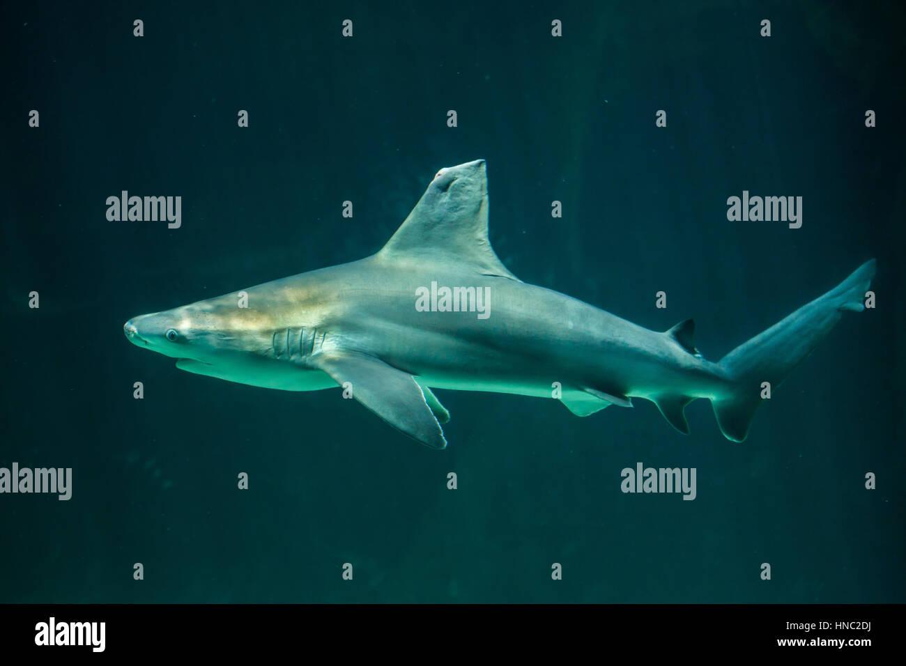 Sandbar shark (Carcharhinus plumbeus). - Stock Image