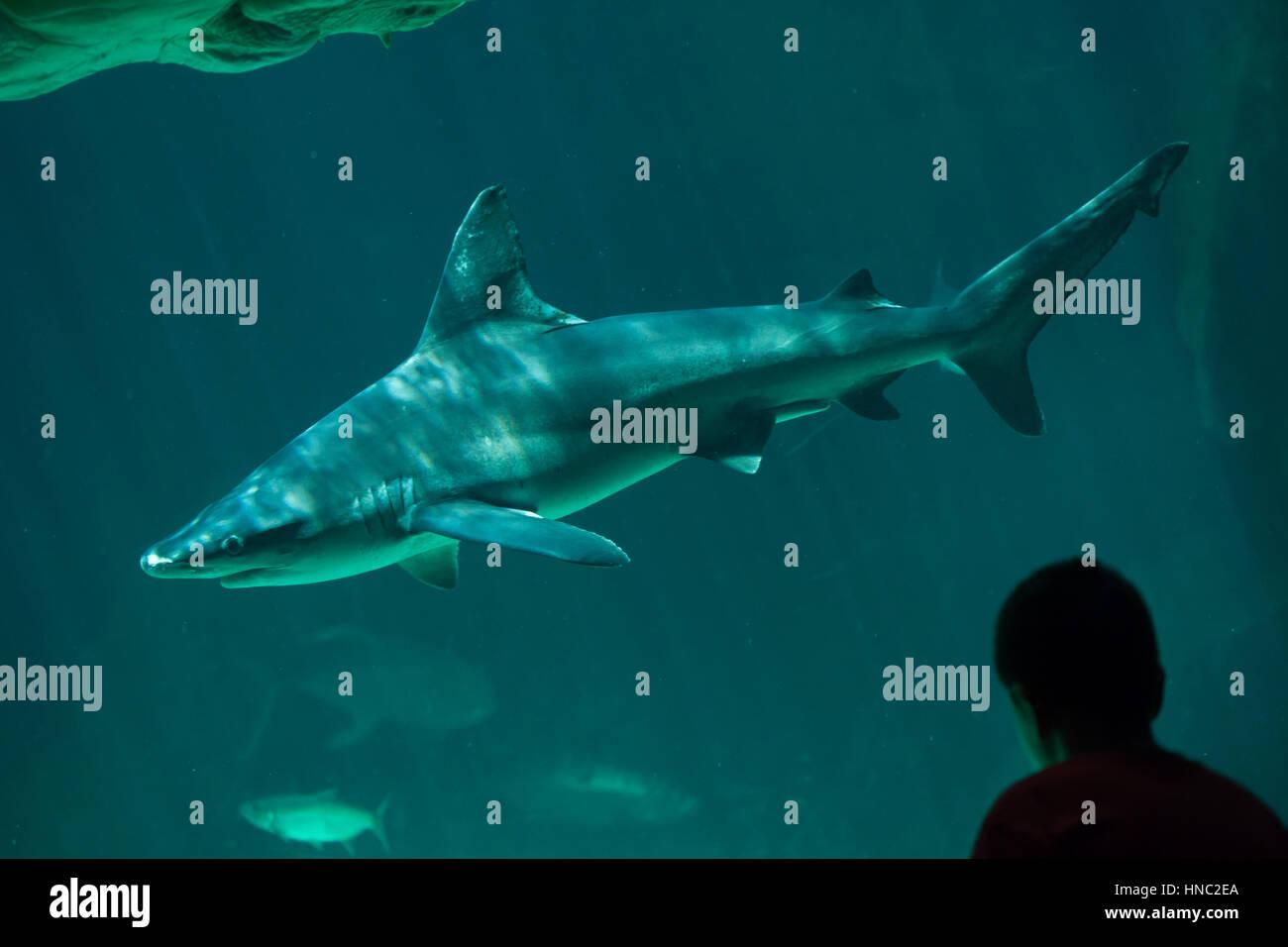 Young visitor looks as the sandbar shark (Carcharhinus plumbeus) swimming in Madrid Aquarium, Spain. - Stock Image