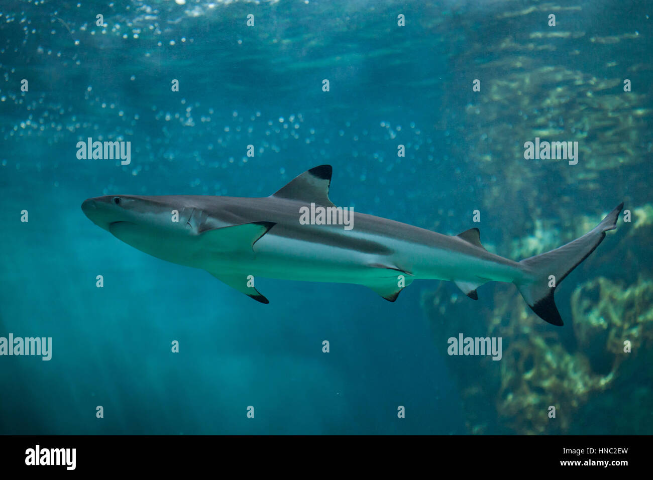Blacktip reef shark (Carcharhinus melanopterus). Marine fish. - Stock Image