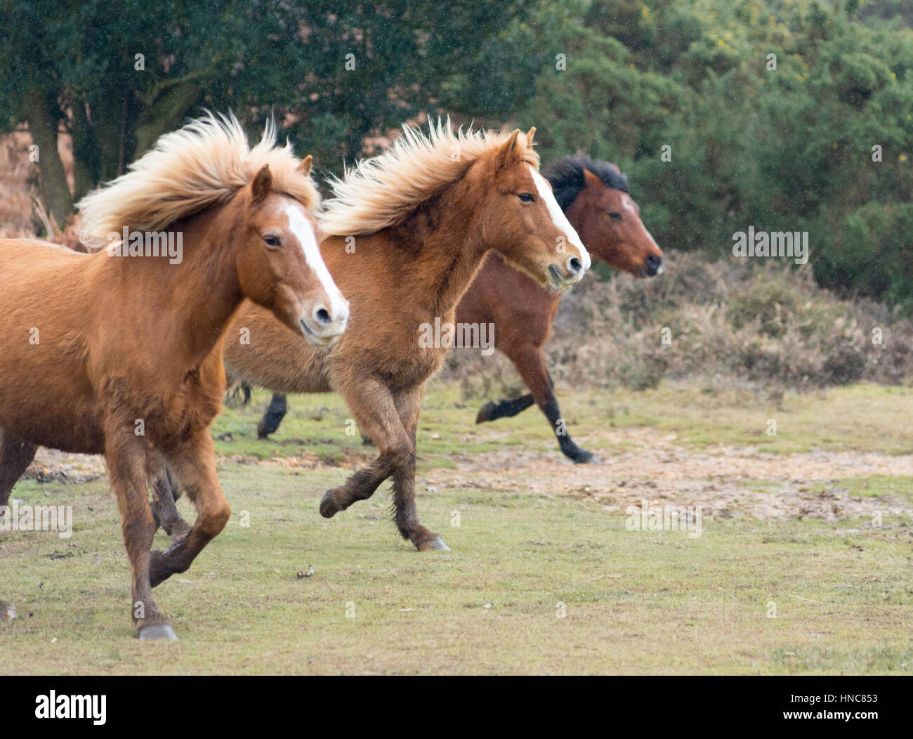 New Forest ponies running, Hampshire, UK - Stock Image