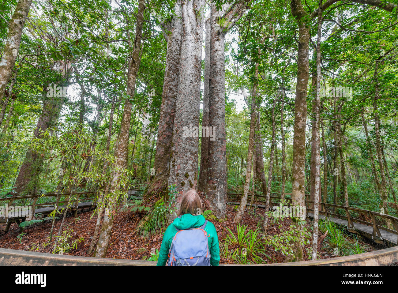 Tourist in front of four Kauri trees (Agathis australis) standing together, The Four Sisters, Waipoua forest, Northland - Stock Image