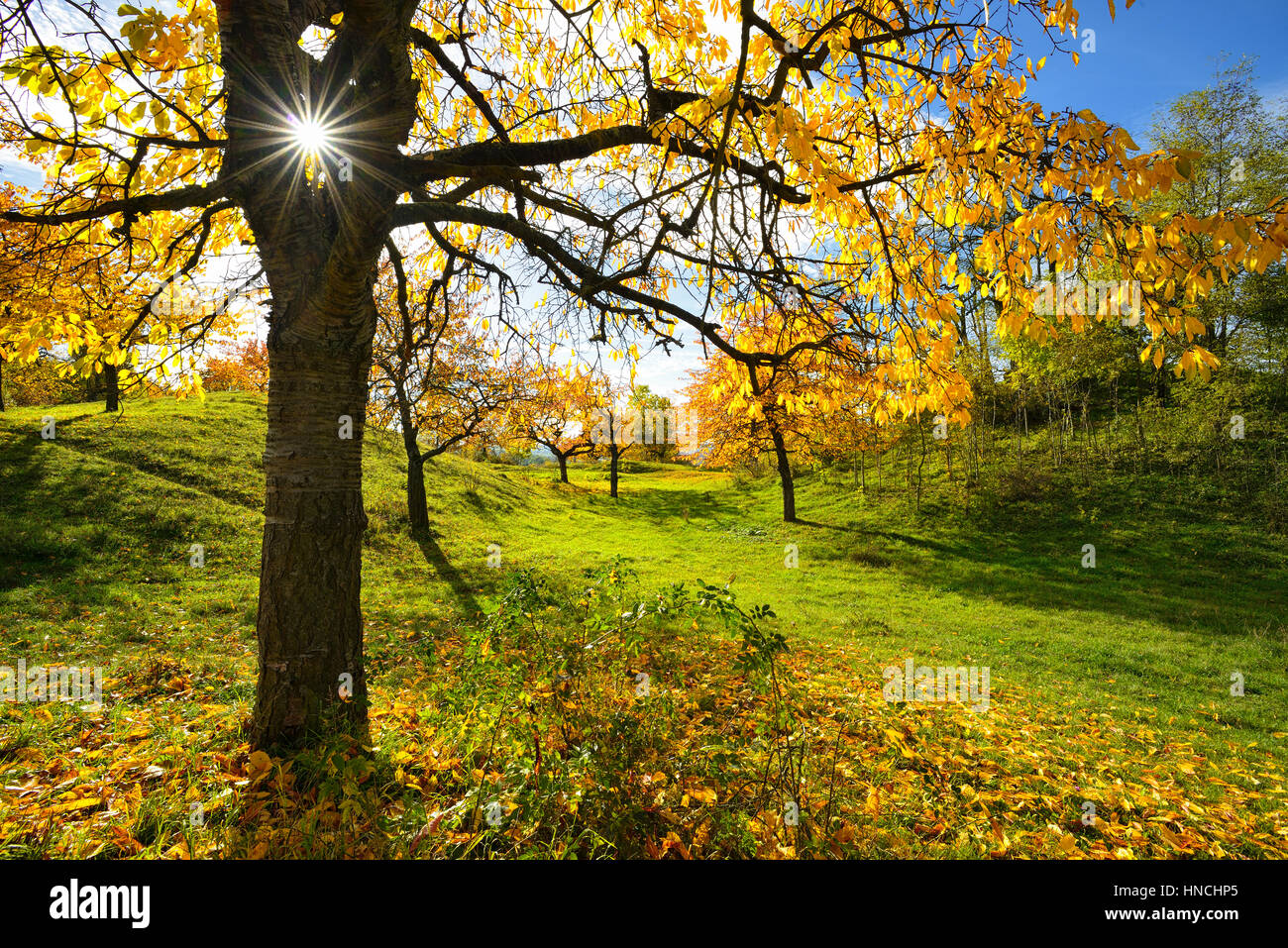 Meadow orchard in autumn, sun radiating in a star shape through cherry, yellow foliage, near Weimar, Thuringia, - Stock Image