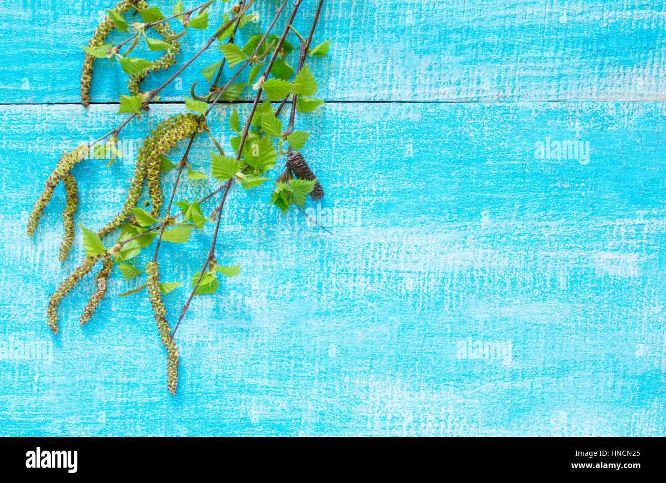 Flowering birch tree branches on a blue wooden background, with space for text. - Stock Image
