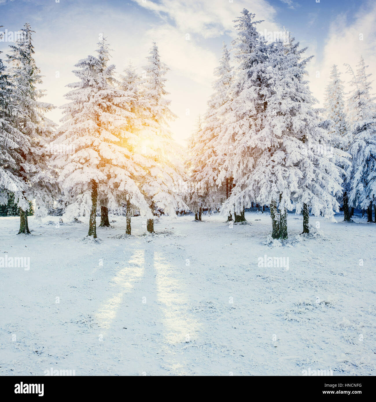 The sun's rays make their way through the snow-covered spruce in Stock Photo