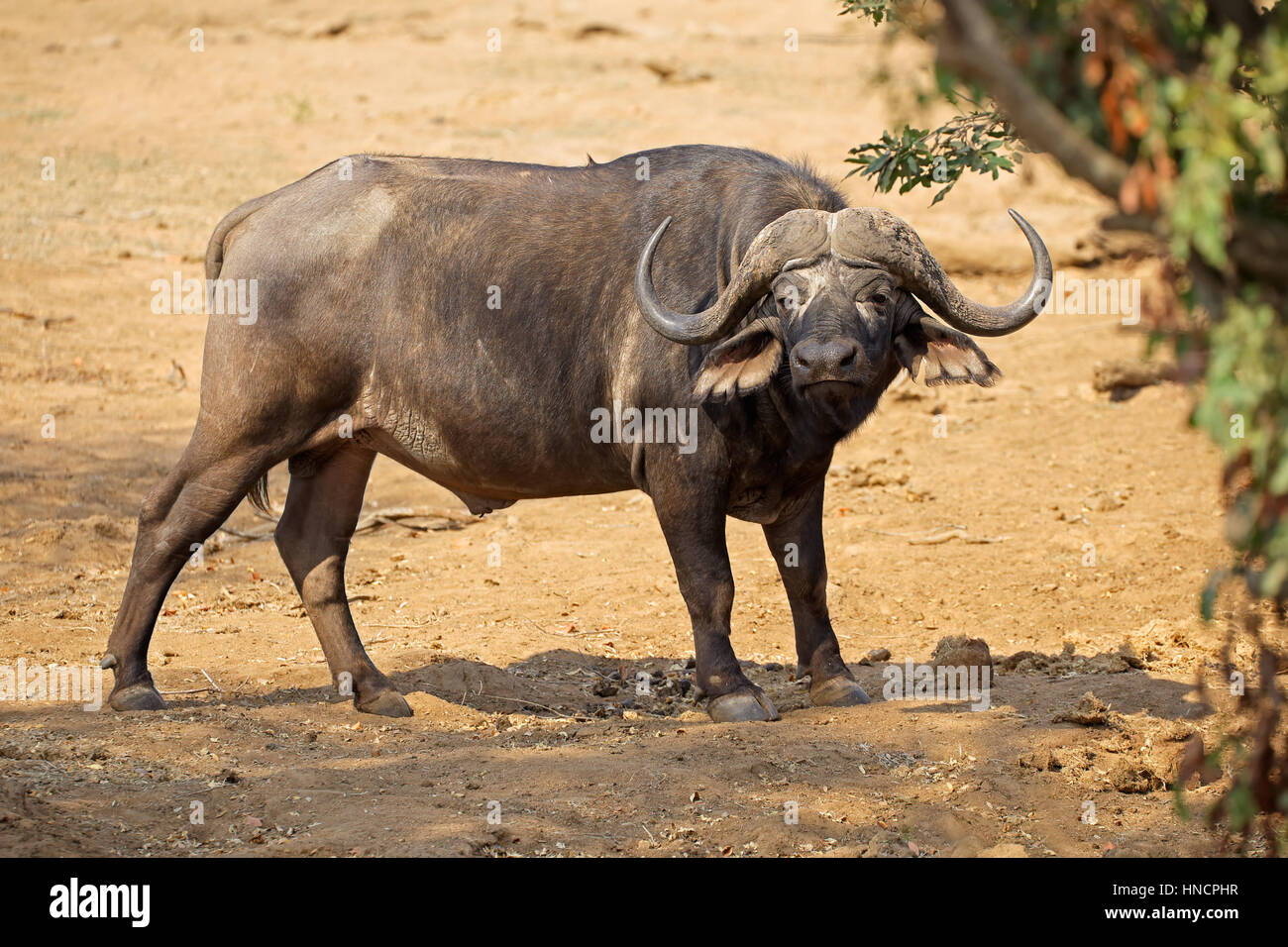 African buffalo (Syncerus caffer) in natural habitat, Kruger National Park, South Africa - Stock Image