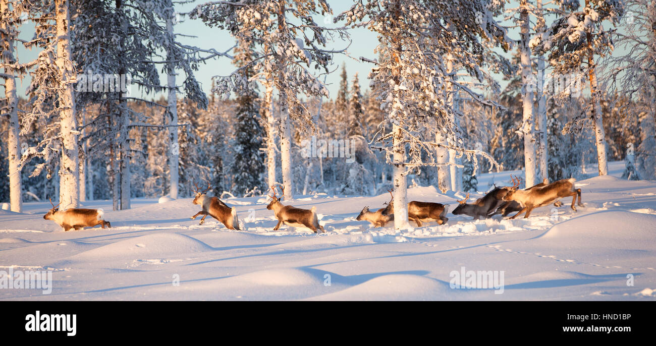 A flock of reindeer running in the deep snow of an arctic pine woods. A sunny winter day in Swedish Lapland - Stock Image