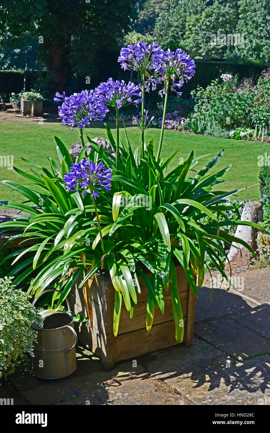 Agapanthus 'Navy Blue' in a container - Stock Image