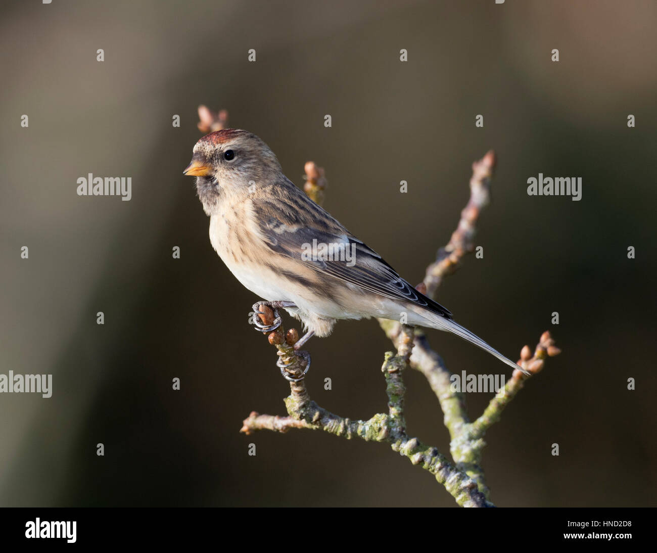 Redpoll (Carduelis flammea) on a lichen covered branch in the UK,winter,2017 - Stock Image
