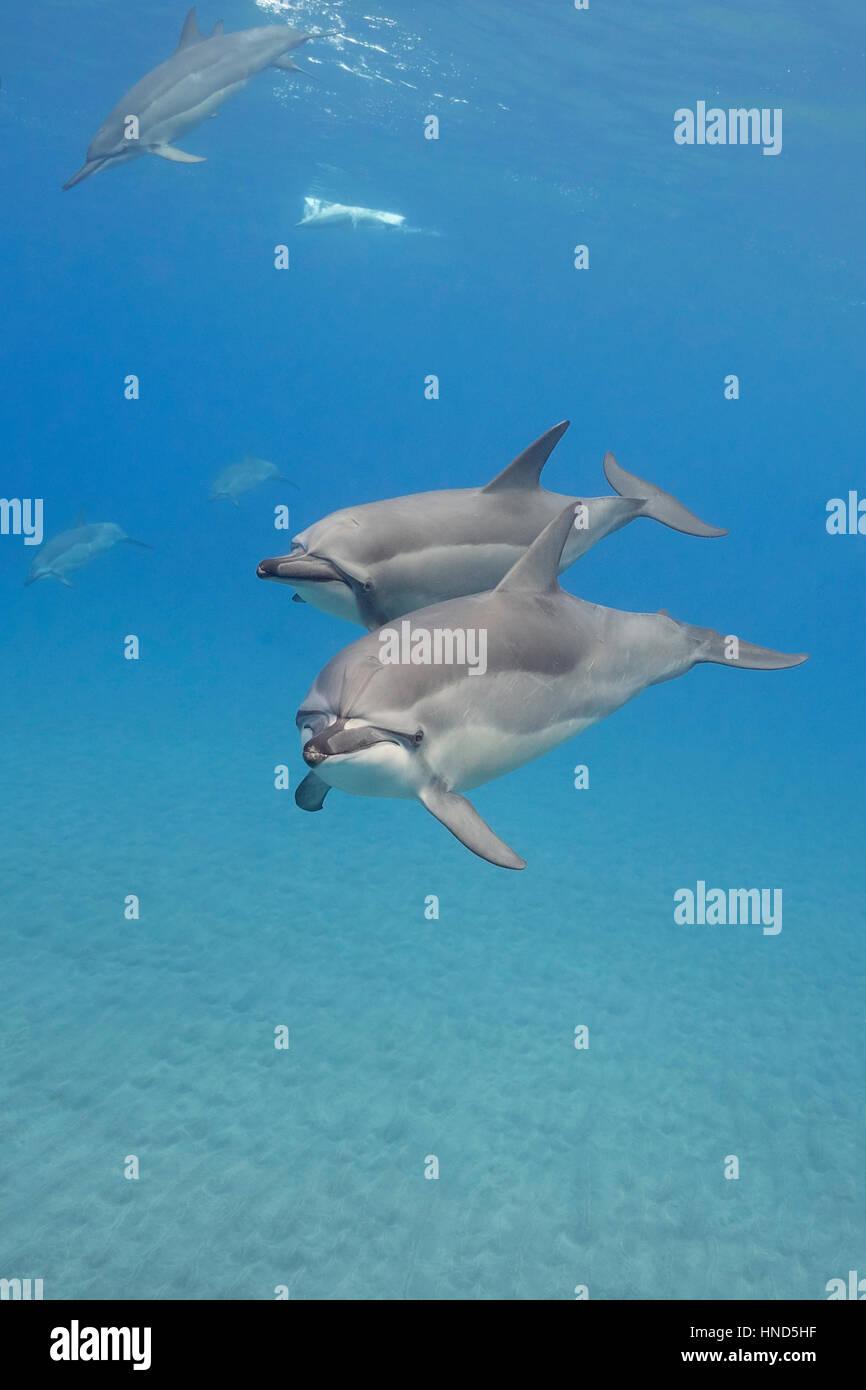 Hawaiian spinner dolphins or Gray's spinner dolphin, Stenella longirostris longirostris, off Ho'okena Beach, - Stock Image