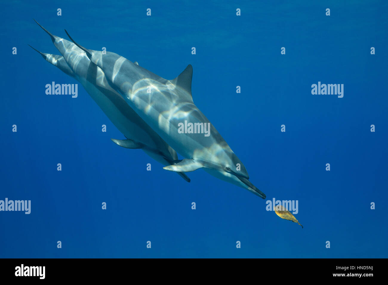 Hawaiian spinner dolphins or Gray's spinner dolphin, Stenella longirostris longirostris, playing with leaf, - Stock Image
