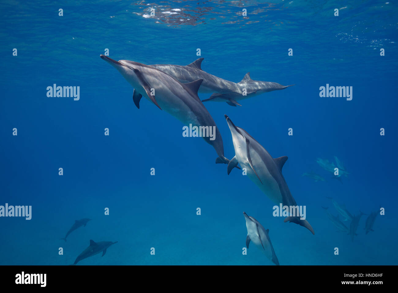Hawaiian spinner dolphins or Gray's spinner dolphin, Stenella longirostris, socializing; one dolphin with scissor - Stock Image