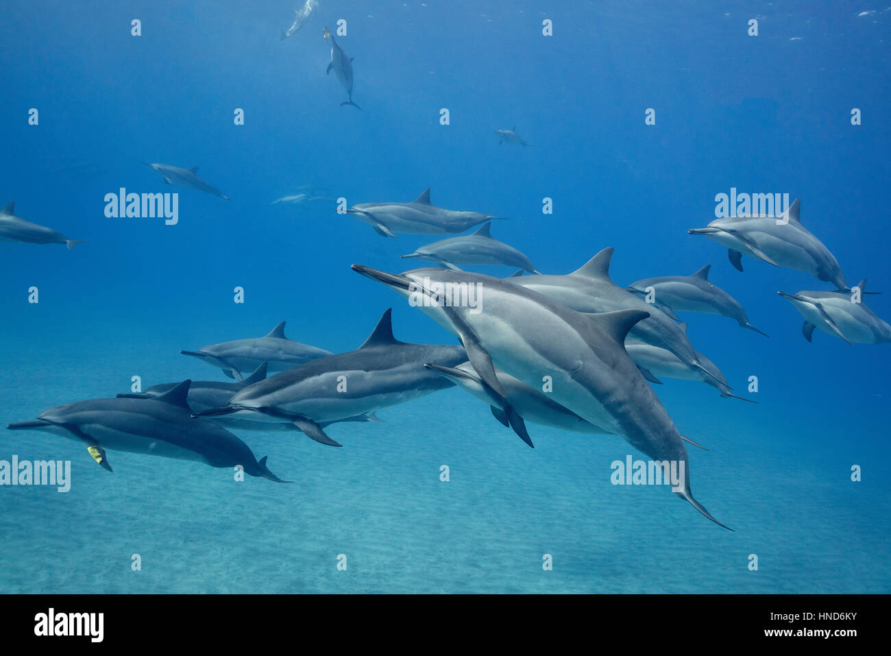 pod of Hawaiian spinner dolphins or Gray's spinner dolphins, Stenella longirostris, resting, socializing, and - Stock Image