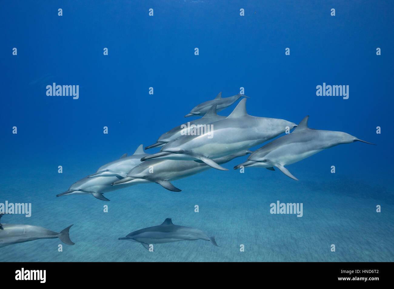Hawaiian spinner dolphins or Gray's spinner dolphin, Stenella longirostris longirostris, Hookena, South Kona, - Stock Image