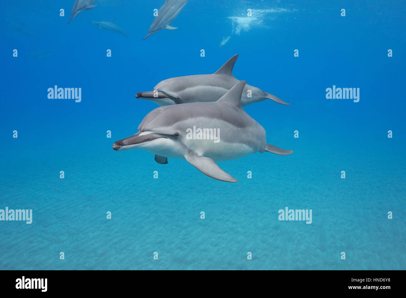 Hawaiian spinner dolphins or Gray's spinner dolphin, Stenella longirostris longirostris, Ho'okena Beach, South Kona, Hawaii ( the Big Island ), USA Stock Photo