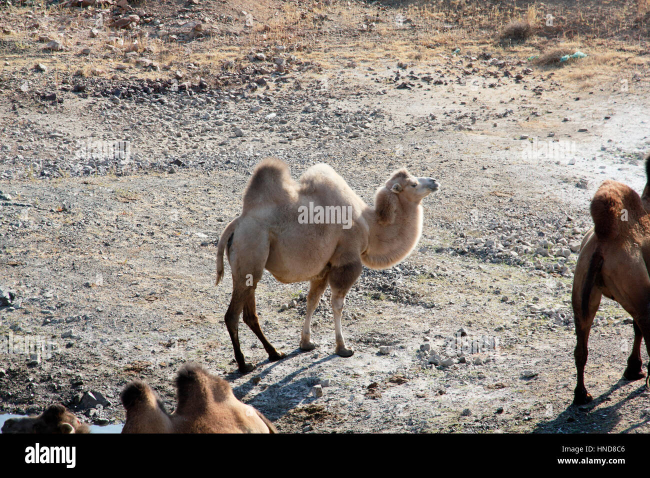 Camels - Stock Image