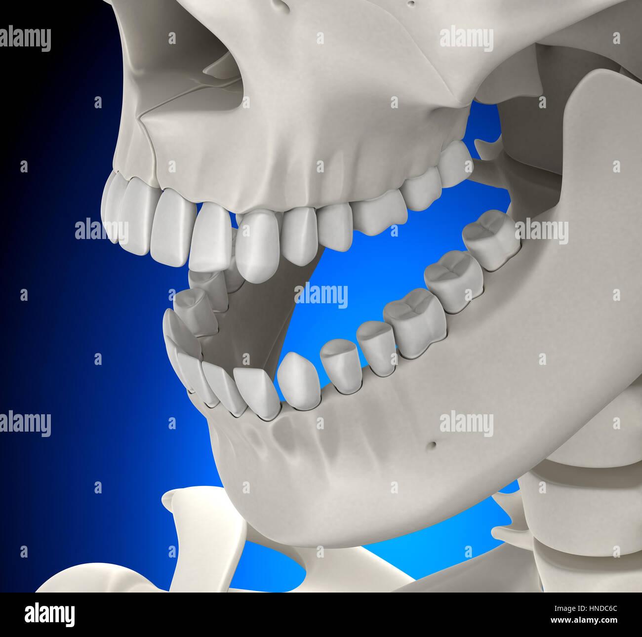 Teeth Skull Male Anatomy on blue background - 3D illustration Stock ...