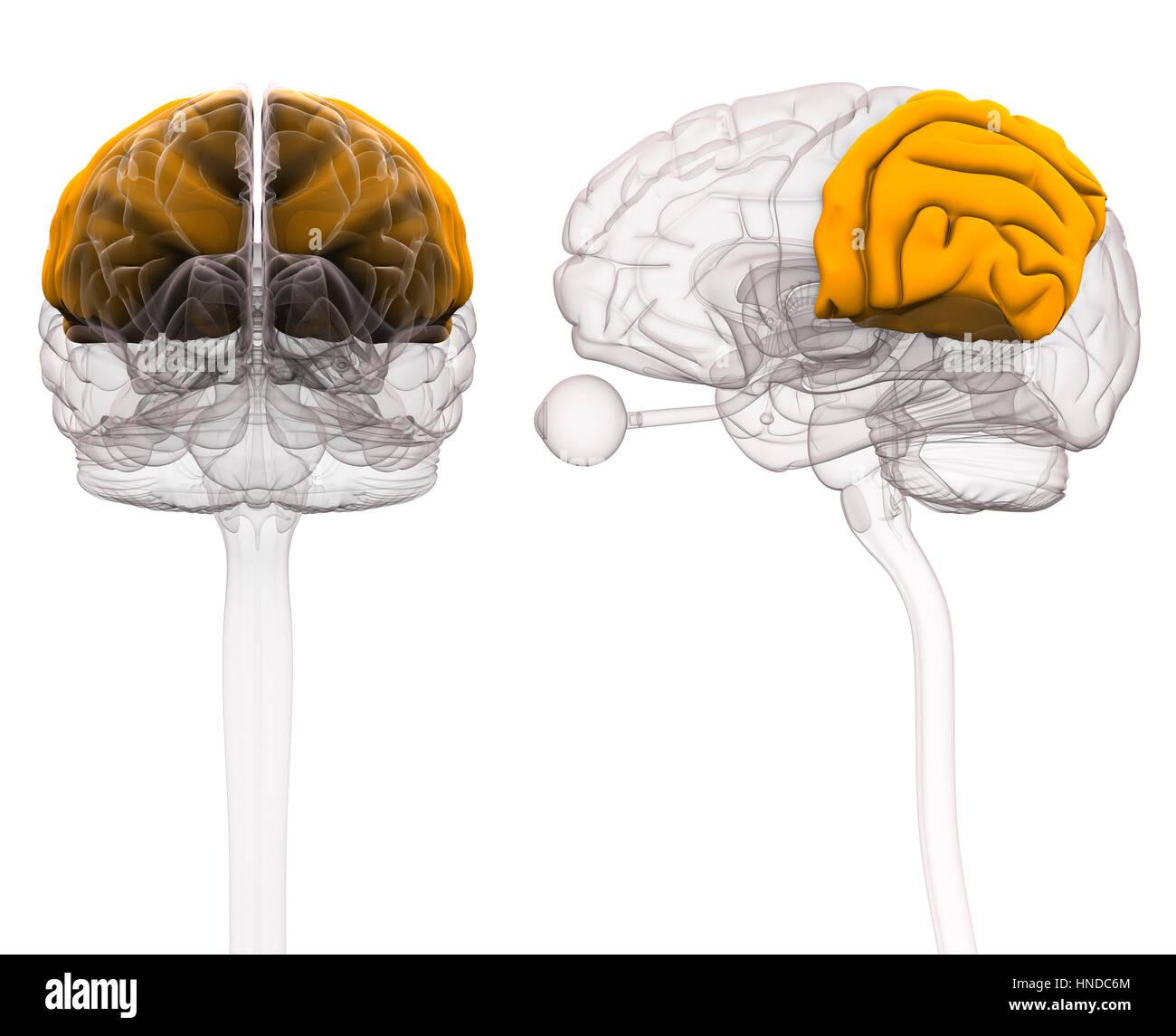 Parietal Brain Anatomy - 3d illustration Stock Photo: 133675324 - Alamy