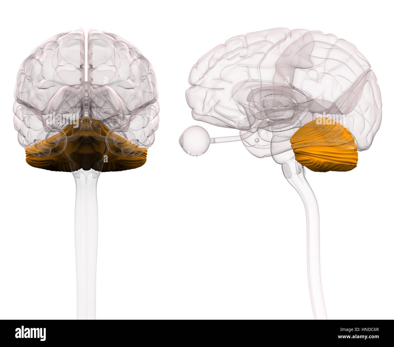 Cerebellum Brain Anatomy - 3d illustration - Stock Image