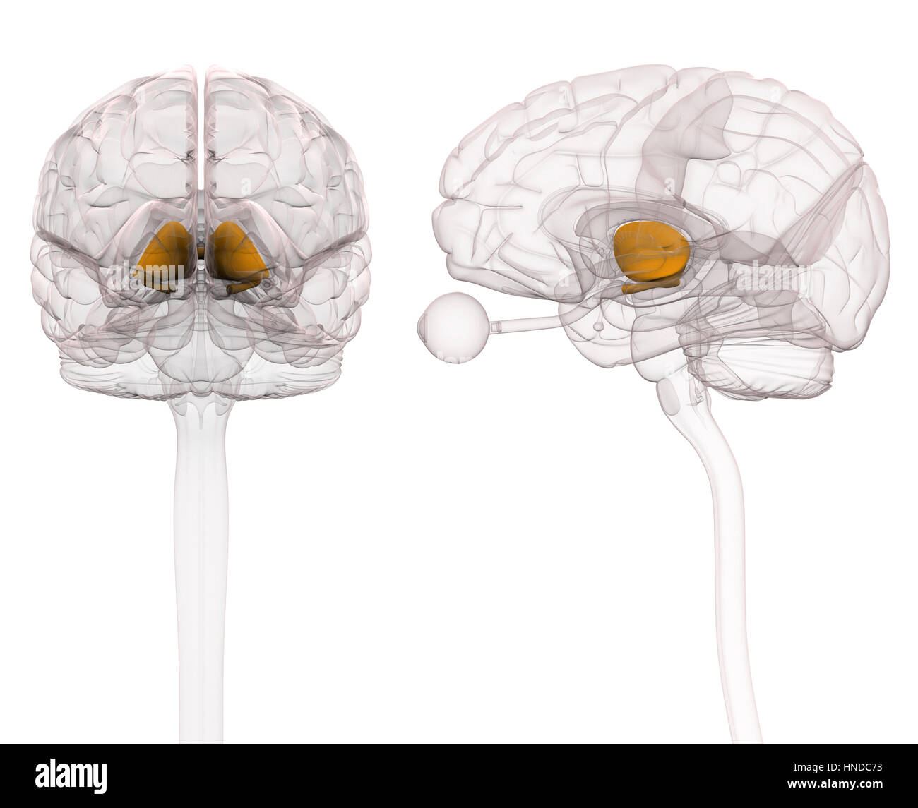 Thalamus Brain Anatomy - Stock Image