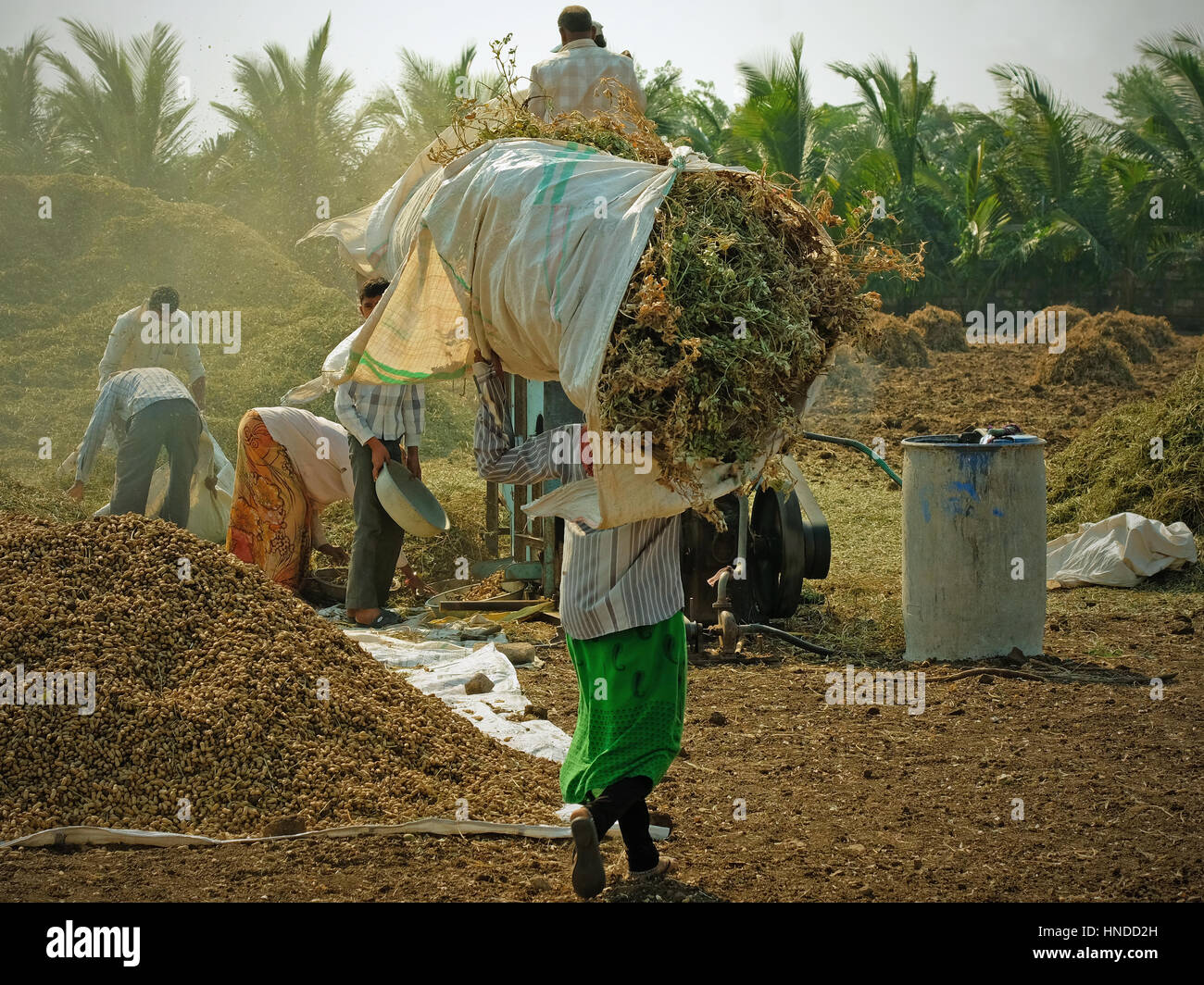 Smallholder and extended family members bringing in the peanut crop in Gujarat, India - Stock Image