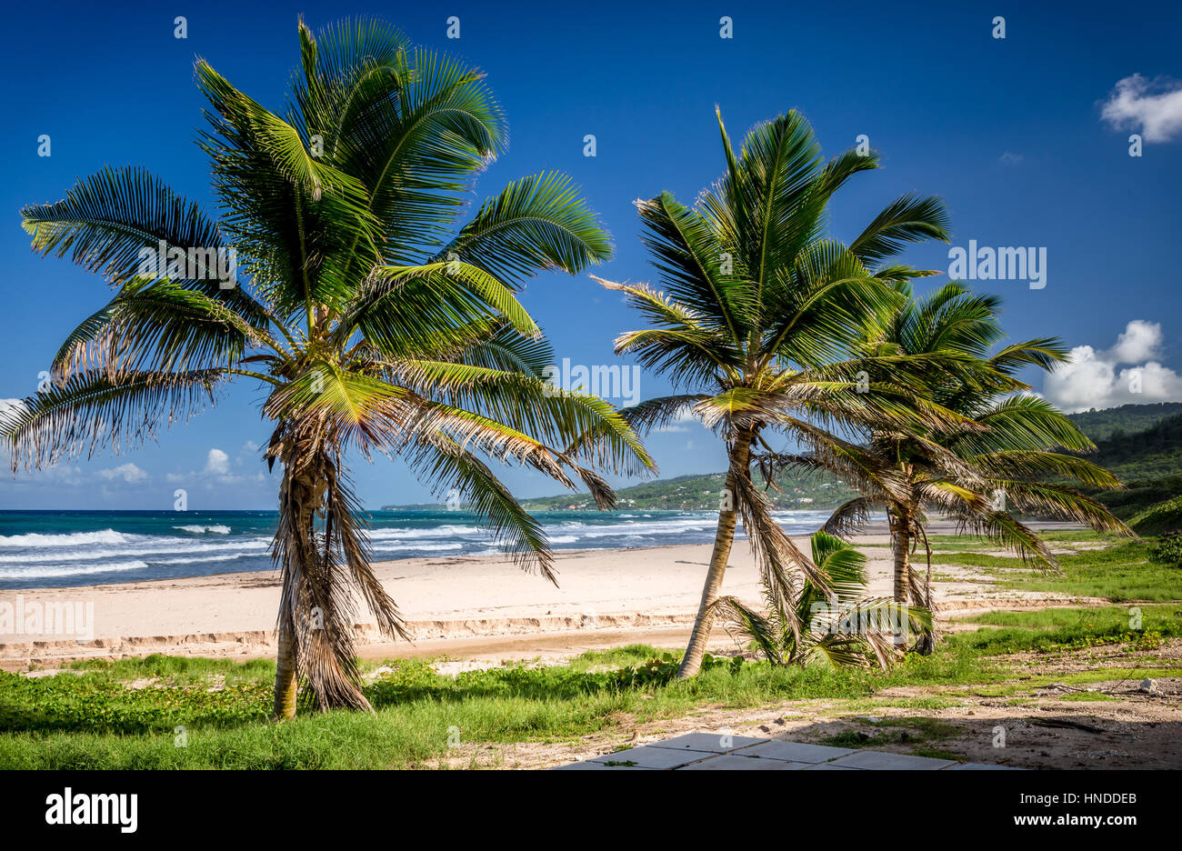 Palm trees on a beach in Barbados - Stock Image