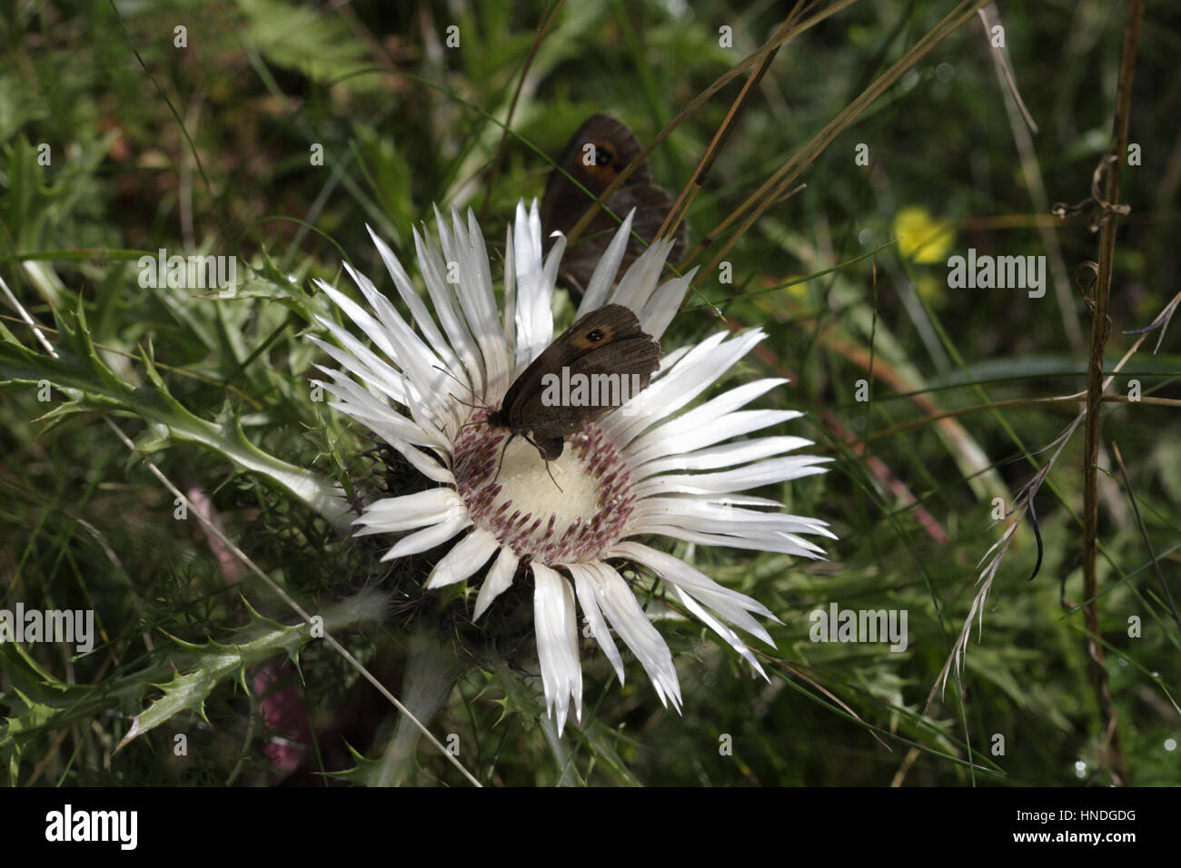 Silver or Alpine thistle (Carlina acaulis) and butterfly pollinating - Stock Image