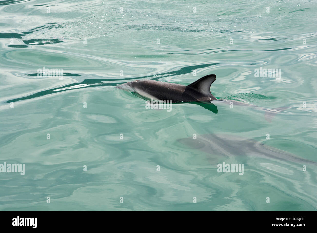 Dusky Dolphin swimming in the Pacific Ocean near Kaikoura in New Zealand.  Schwarzdelfine schwimmen im Pazifik in - Stock Image