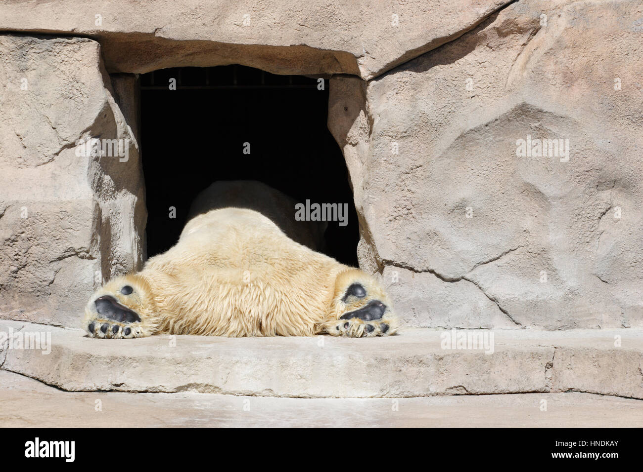 bear laying in the door to his 'cave' in a zoo - Stock Image