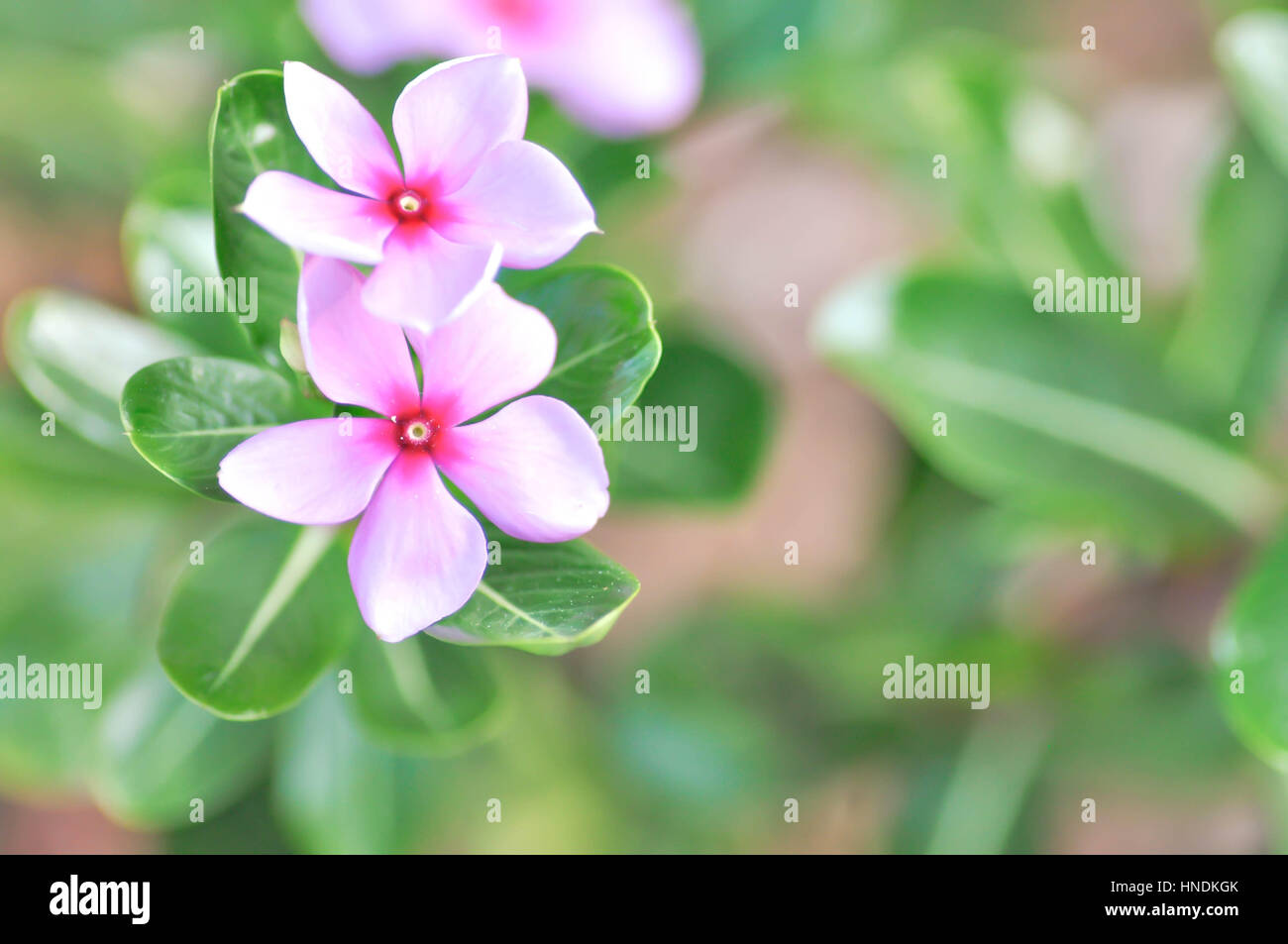 ludwigia adscendens or periwinkle flower Stock Photo