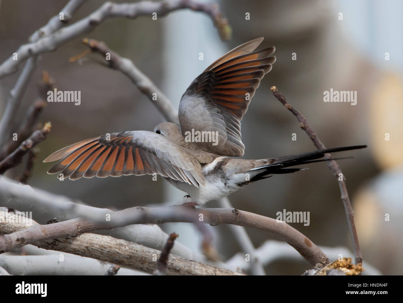 Female Namaqua Dove Oena capensis vagrant Cyprus Spring Stock Photo