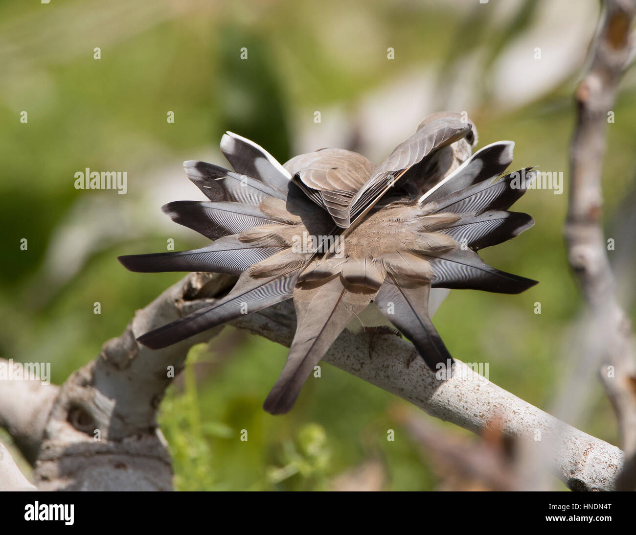 Female Namaqua Dove Oena capensis vagrant Cyprus Spring Stock Photo