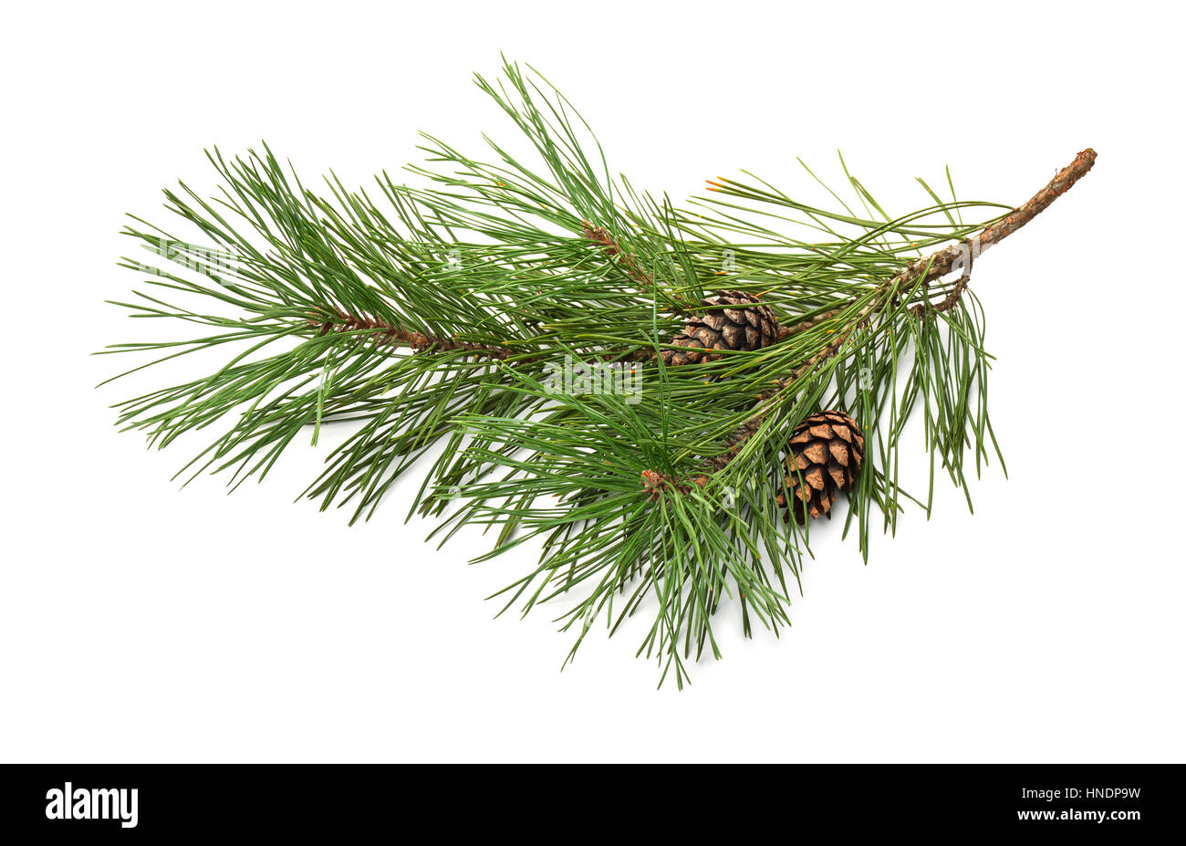 Pine tree branch and cones isolated on white - Stock Image