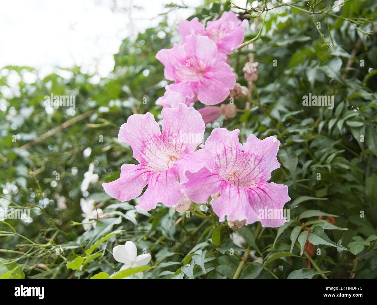 Pretty Pink Flowers In Mallorca Stock Photos Pretty Pink Flowers