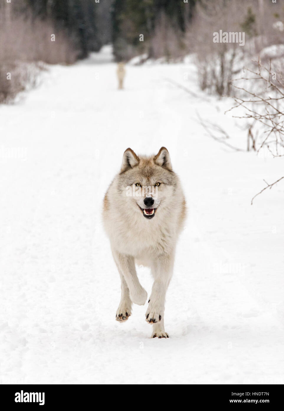Two Gray Wolves; Canus Lupus; British Columbia; Canada - Stock Image